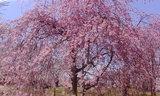 三神峯公園の桜 2010